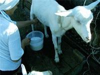 Молоко при диабете 2 и 1 типа, сахарном: можно ли коровье, козье, овсяное, кокосовое, верблюжье, сухое